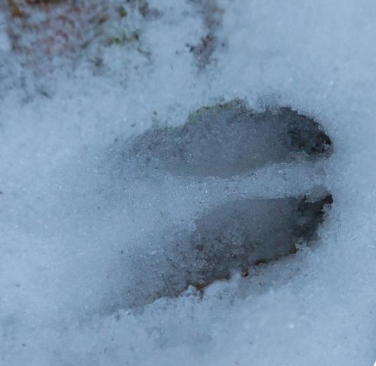 spuren marder im schnee