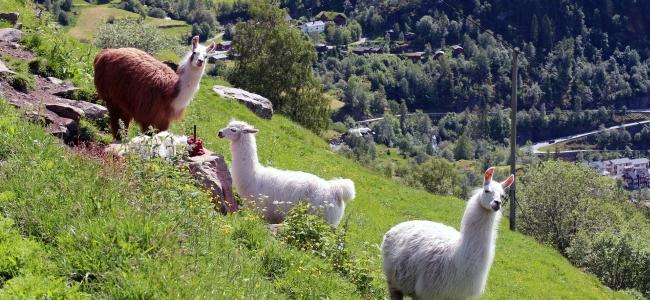 Alpaka Wanderung in Rheinland-Pfalz und Nordrhein-Westfalen